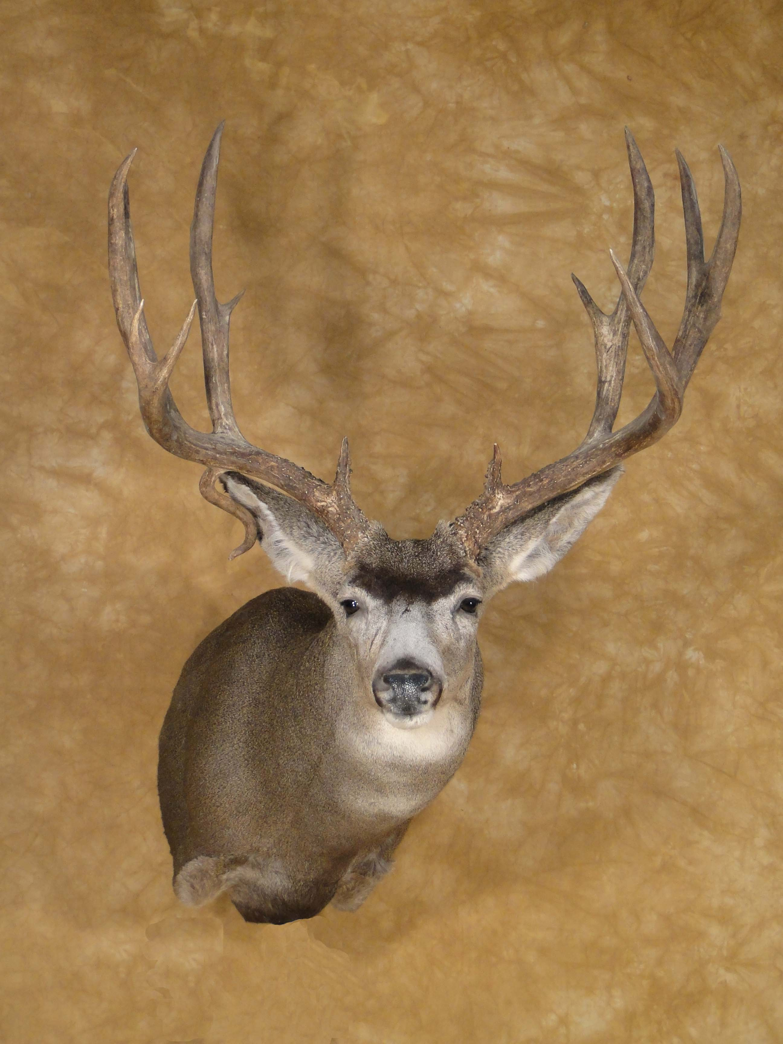North American Oak Stone Taxidermy Studio